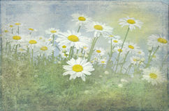 Field of white daisies. White daisies with a soft texture overlay Royalty Free Stock Photography