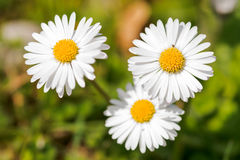 Field with white daisies Royalty Free Stock Photo