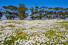Field of white daisies with trees stock photography