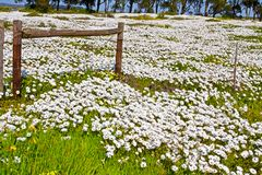 Field of white daisies with wooden fence royalty free stock photos