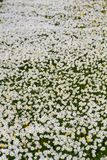 Field of white daisy flowers Royalty Free Stock Images