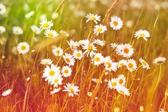 Field of white daisy flowers. royalty free stock images