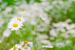 Field of white daisy. One white daisy on the left Royalty Free Stock Photography