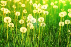 Field of white dandelions. Dandelions on sunny meadow on the sunset. Nature background royalty free stock photo