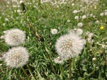 Field of white dandelions Stock Photo