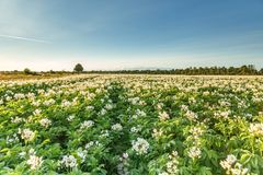 Field with white flowering potato plants during sunset. Field with white flowering potato plants for processing into potato starch in the Dutch province of Royalty Free Stock Images