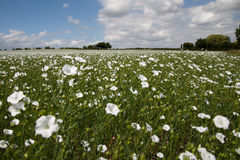 A field of white flowers. A field of grass with white flowers on a sunny bright day with clouds in the sky and trees in the background Stock Photo