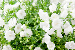 Field of white flowers Stock Photography