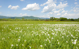 Field of white flowers and blue sky in Ukraine Stock Photography