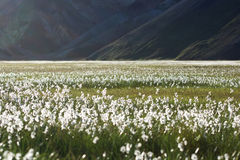 Field with white flowers and mountains on a background, Iceland Royalty Free Stock Photography