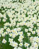 Field of white flowers Narcissus Royalty Free Stock Photography