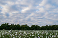 Field of white flowers with orange plantations in the background Royalty Free Stock Photo
