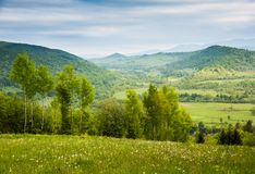 Field of white flowers. Spring in mountains Royalty Free Stock Photos
