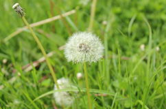 Field of white fluffy dandelions Stock Photos