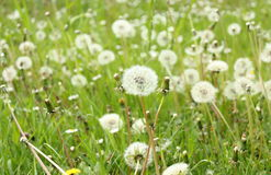 Field of white fluffy dandelions Stock Images