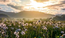 Field of white fluffy dandelions at sunrise. Field of white fluffy dandelions at foggy sunrise. beautiful countryside scenery in mountainous area Stock Image
