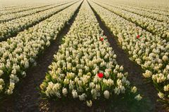 Hyacinths at Lisse. Field of White Hyacinth dotted with tulips in Lisse, Netherlands. Lisse is famous as the home of Keukenhof and the flower capital of the royalty free stock images