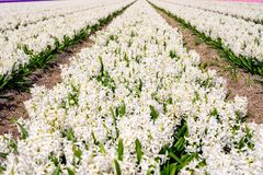 Field of  white hyacinth in Holland , spring time colourful flowers. Field and white hyacinth in Holland , spring time stock photos