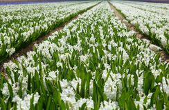 Field of white hyacinths in Holland Royalty Free Stock Photo