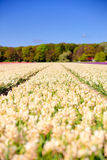 Field of white hyacinths in spring Stock Images