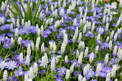 Field with white Muscari botryoides Royalty Free Stock Photo