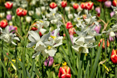 Field of white narcissuses and tulips Royalty Free Stock Images