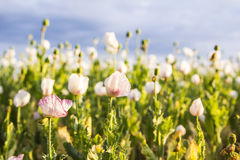 Field of white poppies on a background of the cloudy sky background Stock Photos