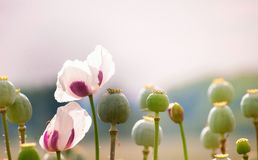 Field of white poppies. Beautiful field of white poppies. Mature flowers, White flowers. Lighting background Stock Photography