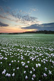 Field of white poppies at sunset Royalty Free Stock Images