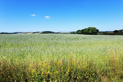 Field of the white Poppy Royalty Free Stock Photo