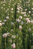 Field of White Poppy Royalty Free Stock Image