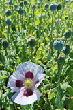 Field of the white Poppy with Bloom Royalty Free Stock Image