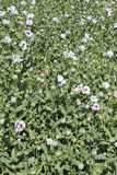 Field of the white Poppy Stock Image