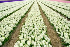 Field of white,purple and pink hyacinth in Holland , spring time colourful flowers. Field of white,purple and pink hyacinth in Holland , spring time royalty free stock photos