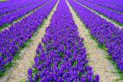 Field of white,purple and pink hyacinth in Holland , spring time colourful flowers. Field of white,purple and pink hyacinth in Holland , spring time royalty free stock image