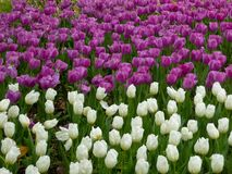 A field of white and purple tulips blooming in early spring Royalty Free Stock Photo