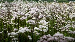 Field of white queen anns lace in summer stock image