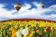 The field of white, red and yellow buttercups Stock Images