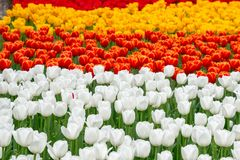 Field of white red and yellow tulips in Hangzhou. A field of white red and yellow tulips in Hangzhou, China, in the spring stock photography