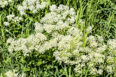 Field white small flowers. Spring flowering meadows. stock photos