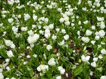 A field of white tulips blooming Royalty Free Stock Images