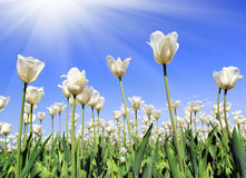 Field of white tulips blooming Stock Images