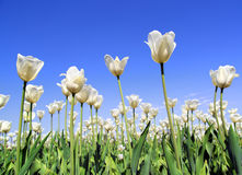 Field of white tulips blooming Stock Image