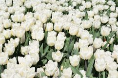Field of white tulips. stock photography