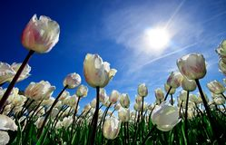 A field of white tulips dancing in the wind. The sun is shining bright over a field of white tulips dancing in the wind against a deep blue sky on a sunny day in Royalty Free Stock Image