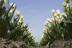 Field with white tulips stock images
