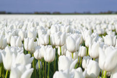 Field with white tulips. Field with many white tulips, Alkmaa, North Holland Royalty Free Stock Photography