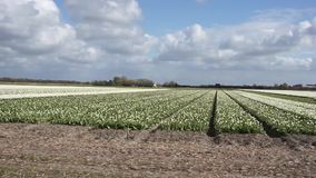 Field with white tulips. Rows with white tulips in the Netherlands stock footage