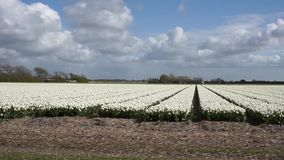 Field with white tulips stock footage