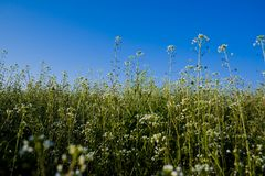 Field of white wild flowers. With beautiful clear blue sky above Royalty Free Stock Image